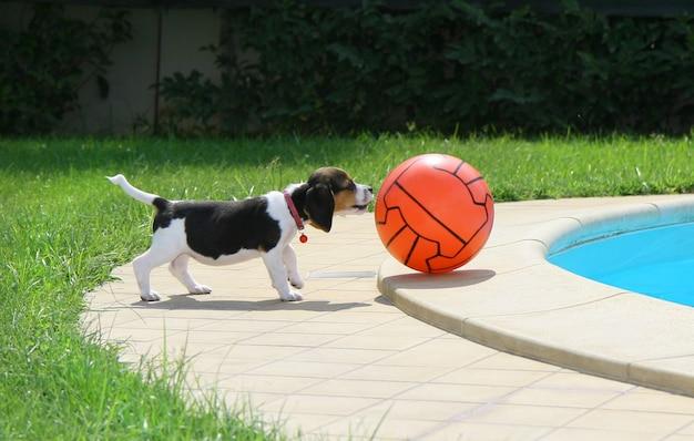 Schattige beagle puppy