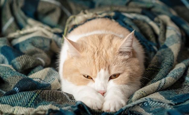 Schattige beige witte kat slaapt met zijn benen gestrekt op een warme groene plaid deken. schotse vouw