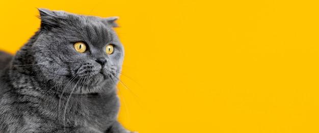 Schattige britse korthaar kat met zwart-wit muur achter haar