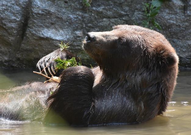 Schattige bruine beer die afkoelt terwijl hij wat bladeren eet