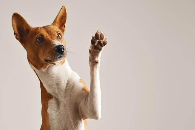 Schattige bruine en witte basenji-hond die en high five glimlacht geeft die op wit wordt geïsoleerd