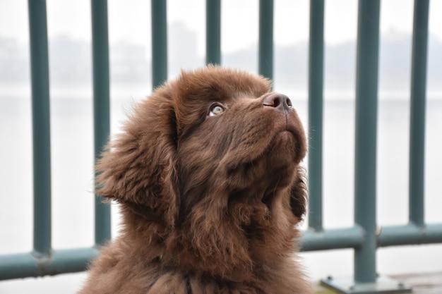 Schattige bruine newfie-puppyhond die zittend opkijkt