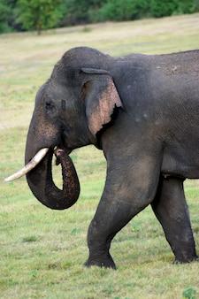 Schattige ceylon-olifant die op gras loopt en voedsel zoekt