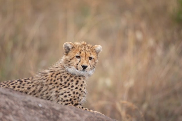 Schattige cheetah cub