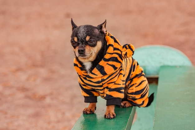 Schattige chihuahua hond in winterkleren in de lente of herfst. hond in tijgerkleren