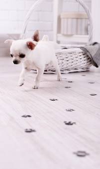 Schattige chihuahuahonden in mand en modderige pootafdrukken op houten vloer in kamer