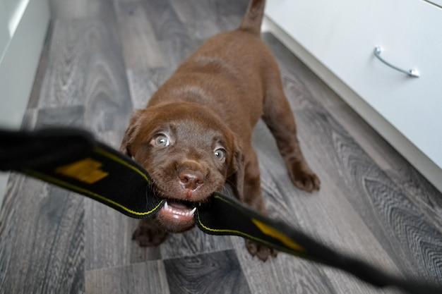 Schattige chocolade labrador retriever-puppy die thuis speelt, op de riem bijt en door de kamer rent, een puppy opvoedt en hem commando's leert, raszuivere hondenkennel Premium Foto