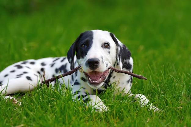 Schattige dalmatische hond buiten in de zomer