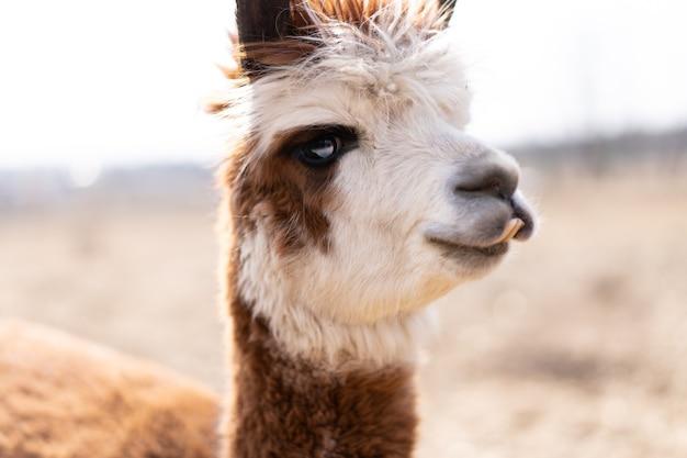 Schattige dieren alpaka lama op boerderij buiten met grappige tanden