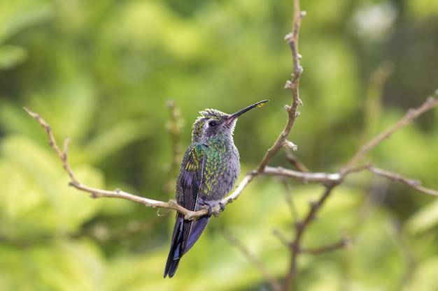 Schattige dikke kolibrie op een tak in groene bossen met druipende nectar op zijn snavel