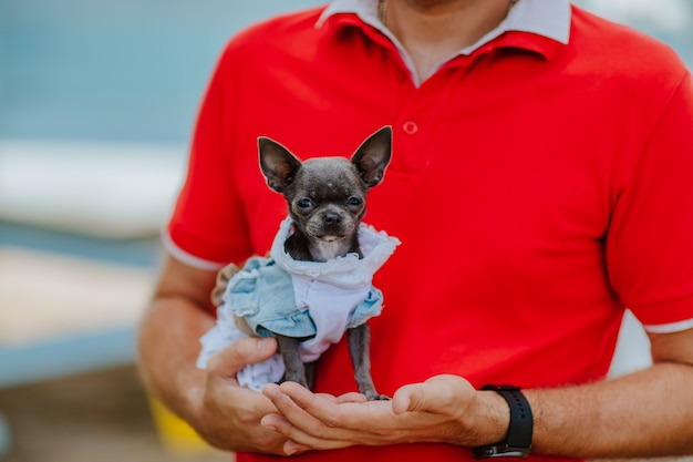 Schattige donkergrijze chihuahua hond in jeans jurk bij mans hand in rood zomershirt