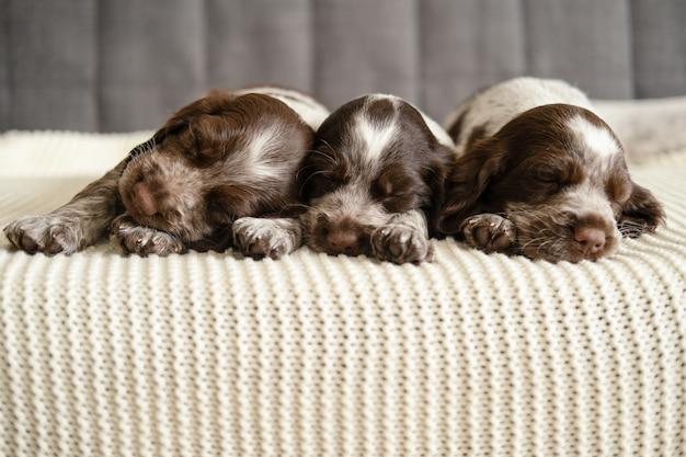 Schattige drie russische spaniel chocolade merle puppy hondje liegen en slapen op witte geruite bank.
