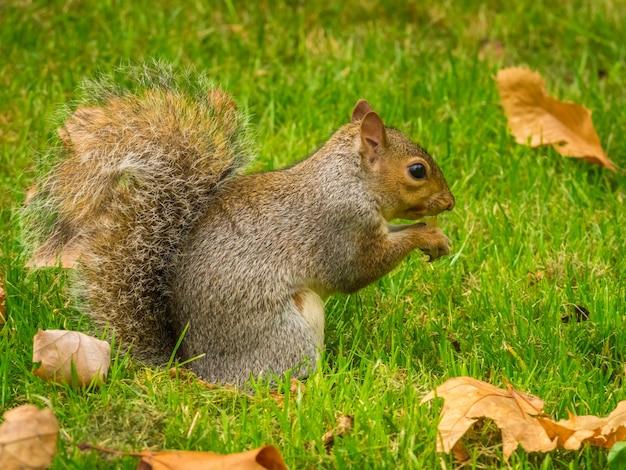 Schattige eekhoorn spelen met gevallen droge esdoornbladeren in een park overdag