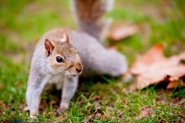 Schattige eekhoorn staande op het gras