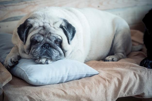 Schattige en schattige mopshond slaapt thuis op een klein plekje voor een hond - mopshond verveelt zich binnenshuis en kijkt naar de camera - witte hond