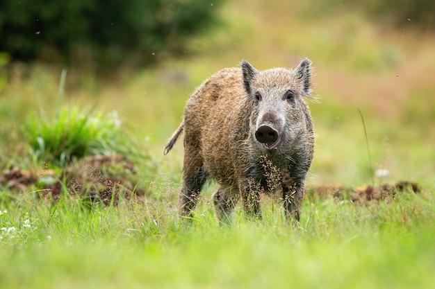 Schattige everzwijn biggen op zoek naar camera op een groene weide in de zomer natuur