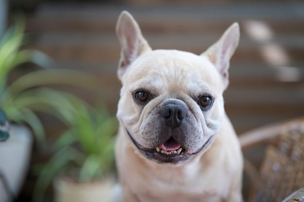 Schattige franse bulldog op zoek naar camera thuis
