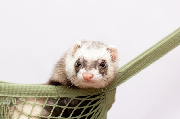 Schattige fret liggend op zijn hangmat, kijkend naar de camera
