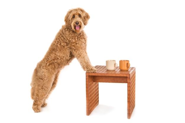 Schattige gekrulde bruine hond met zijn voorpoten op een tafeltje met twee mokken erop