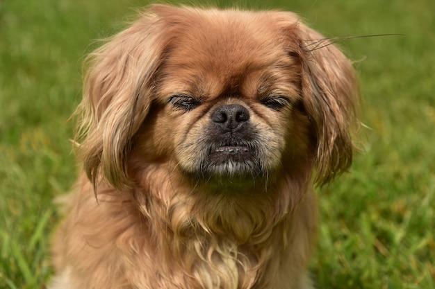 Schattige gember pekinees puppy hondje buiten met haar ogen dicht.