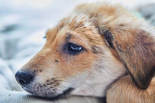 Schattige gember witte pup snuit op kussen close-up gezet.
