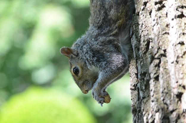 Schattige grijze eekhoorn met een pinda die in een boom klimt.