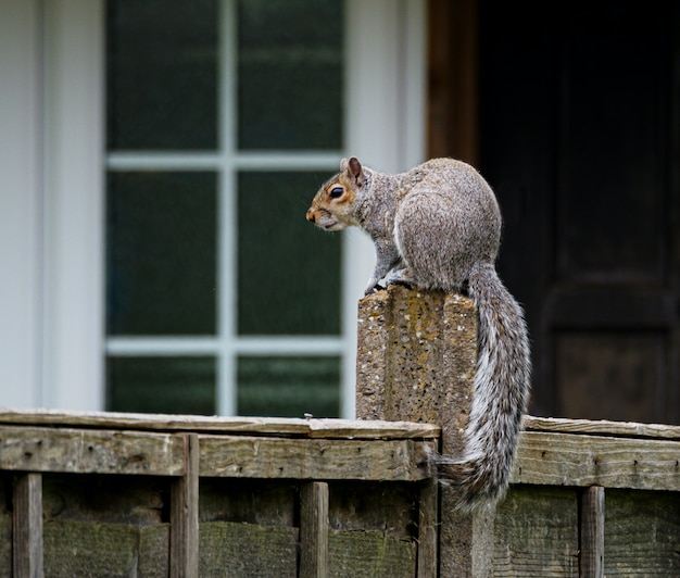 Schattige grijze eekhoorn