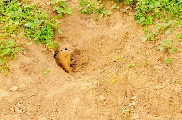 Schattige harige gopher piept uit gat in de grond op groen veld met gras op zonnige avond.