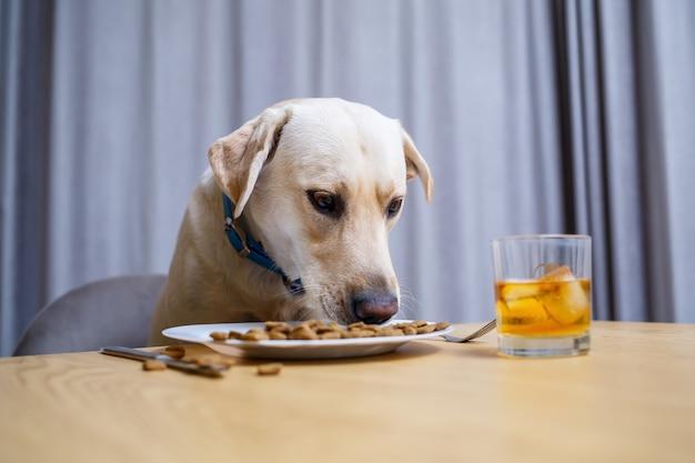 Schattige hond eet voedsel van een bord. labrador zit op een stoel aan tafel en eet hondenvoer