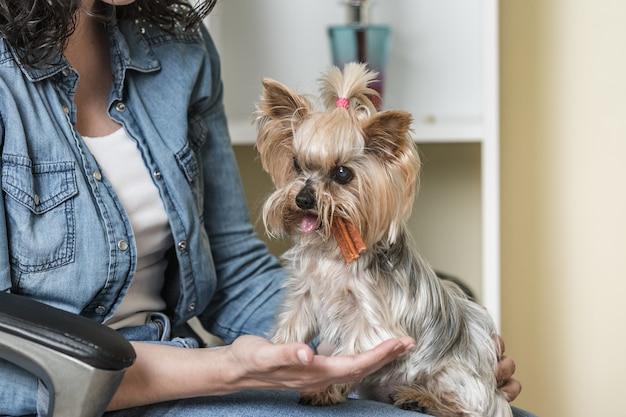 Kleine hondenrassen of pommeren met bruine haren hurken of liggen en eten  een snack op de witte tafel | Premium Foto