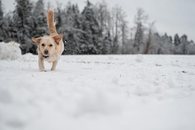 Schattige hond loopt naar de camera in een met sneeuw bedekte natuur.