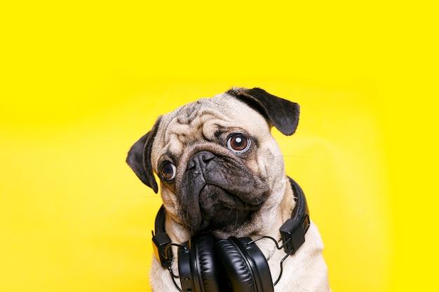 Schattige hond van het ras pug luisteren naar muziek in koptelefoon op geel