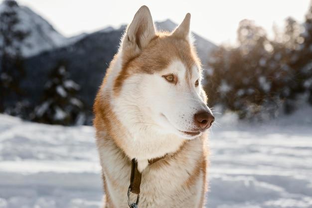 Schattige husky in sneeuw buitenshuis