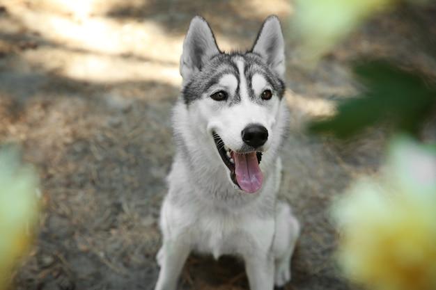 Schattige husky op wandeling in het bos