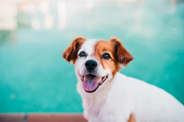 Schattige jack russell hond zittend bij het zwembad, zomertijd