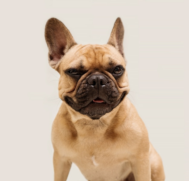 Schattige jonge franse bulldog in beige kleur. close-up portret van een hond