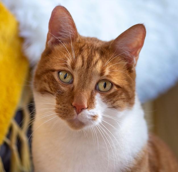 Schattige kat met rode vacht binnenshuis
