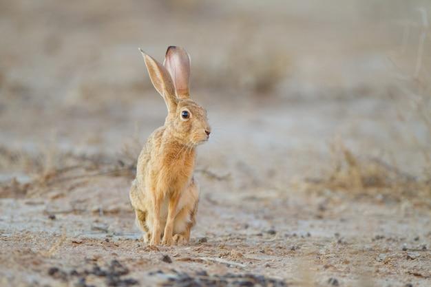Schattige kleine bruine konijn in het midden van de woestijn