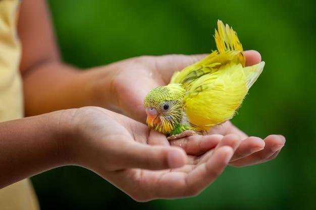 Schattige kleine budgie vogel op kind hand. het aziatische spel van het kindmeisje met haar huisdierenvogel met zacht