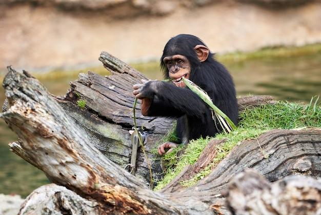 Schattige kleine chimpansee rustend op een boomstam en bijtende plant in een dierentuin in valencia, spanje