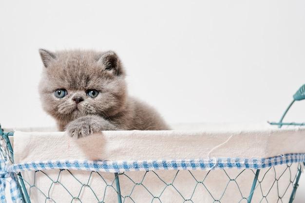 Schattige kleine grijze exotische perzische kat met korthaar in een mandje