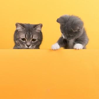 Schattige kleine grijze kat en kitten, op een gele, uiterlijk en speelt. buisiness, copyspace.