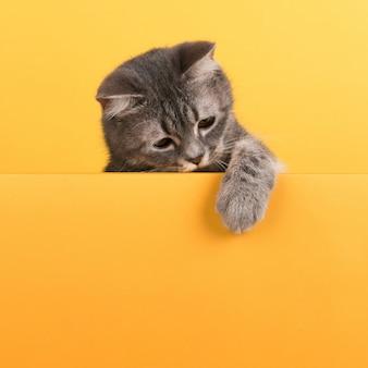 Schattige kleine grijze kat, op een geel, ziet eruit en speelt. buisiness, copyspace.