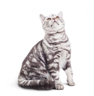 Schattige kleine grijze kat op witte achtergrond