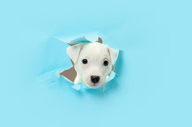 Schattige kleine hond door een gat in blauw papier