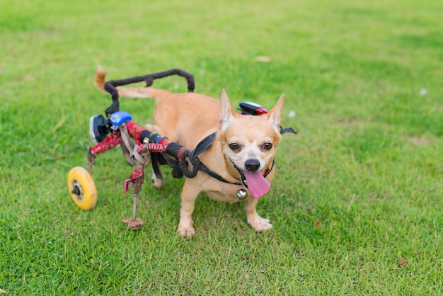 Schattige kleine hond in rolstoel of kar wandelen in grasveld.