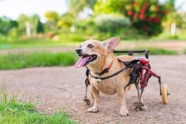 Schattige kleine hond in rolstoel of kar wandelen
