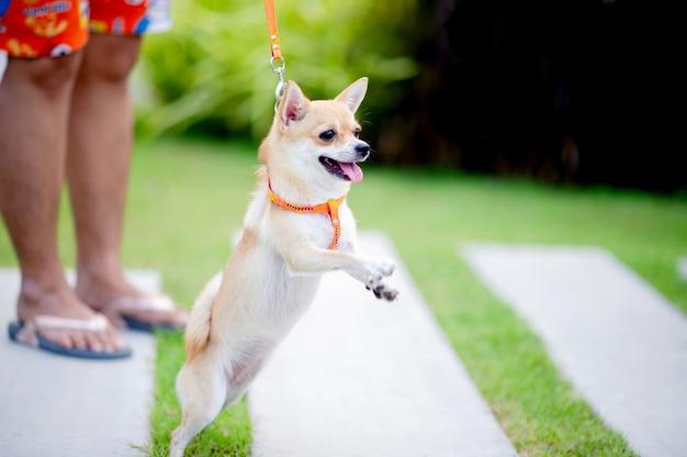 Schattige kleine hond wandelen in het gras voor het huis.