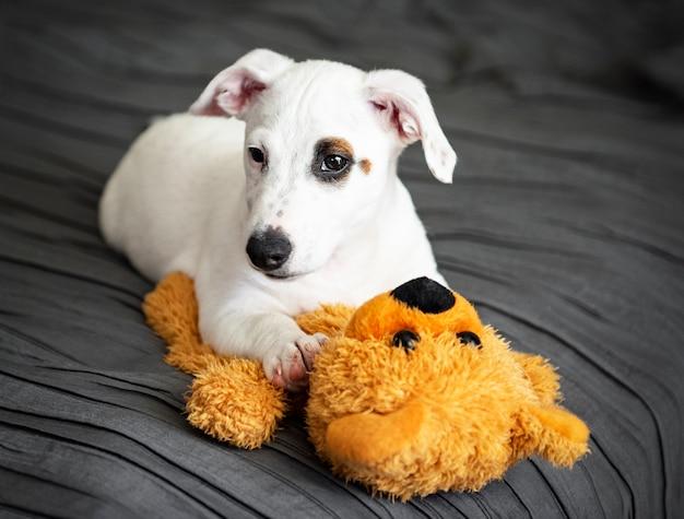 Schattige kleine hond white jack russell terriër ligt op het bed in de slaapkamer met speelgoedbeer