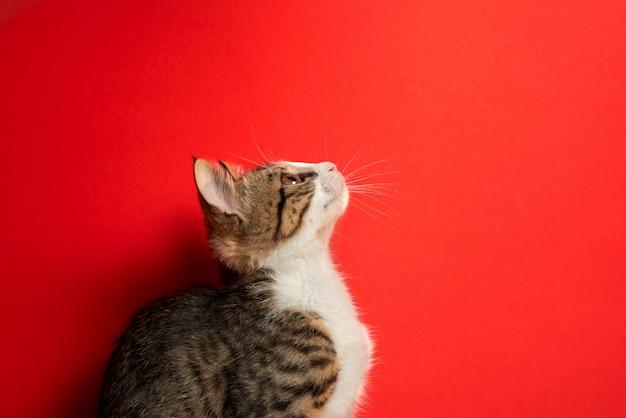 Schattige kleine kat die zich voordeed op rode geïsoleerde achtergrond